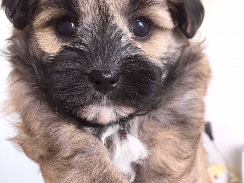 Poodle Cross Puppies For Sale Adelaide | Dog Breeds Picture