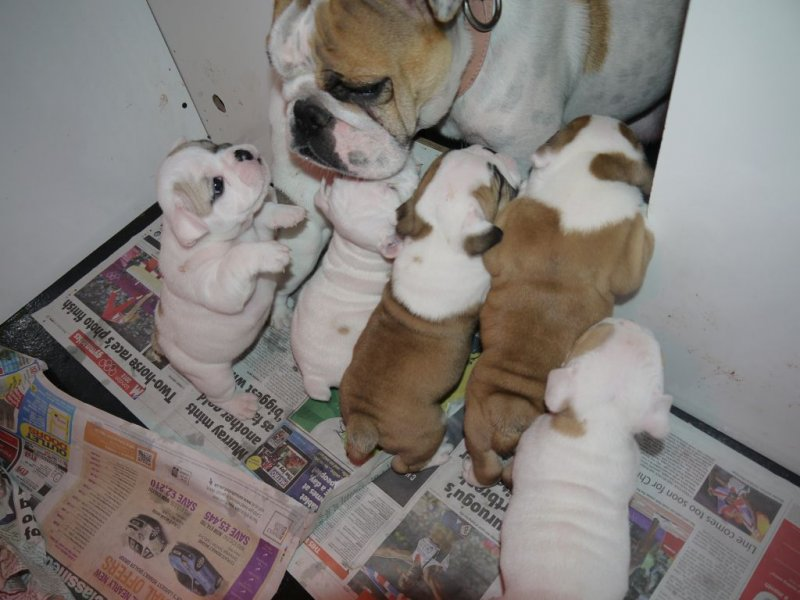Bulldog Puppies For Sale Puppies For Sale And Bulldog Puppies On